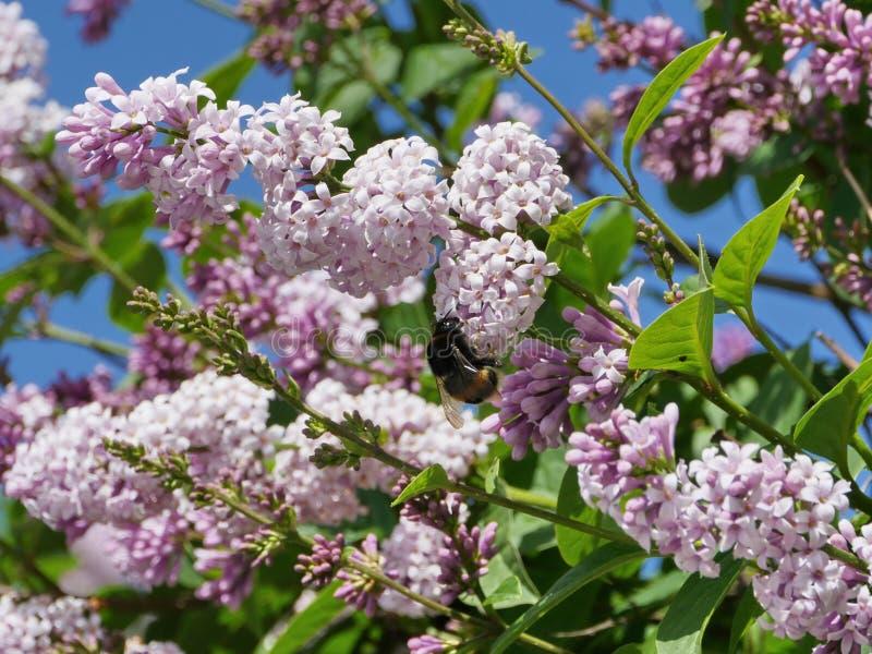 Kostrzewiasty bumblebee napojów nektar na lilych kwiatach fotografia royalty free