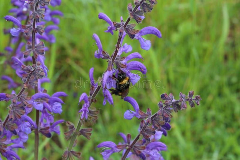 Kostrzewiasty bumblebee napojów nektar od purpurowych kwiatów obraz stock
