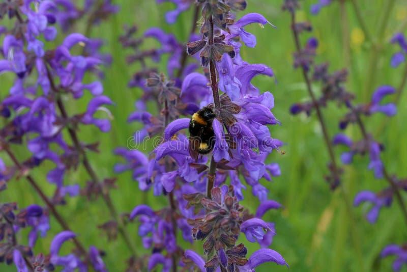 Kostrzewiasty bumblebee napojów nektar od purpurowych kwiatów obrazy royalty free