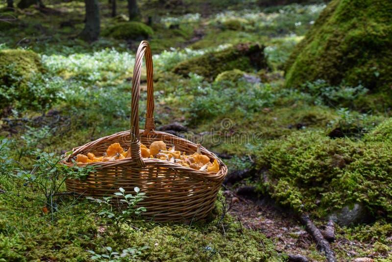 Kosz świeżo ukradzeni chanterelles w lesie w Szwecja obrazy royalty free