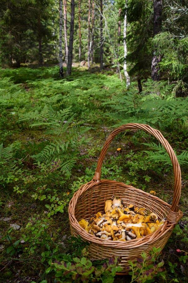 Kosz świeżo ukradzeni złoci chanterelles w lesie zdjęcia royalty free