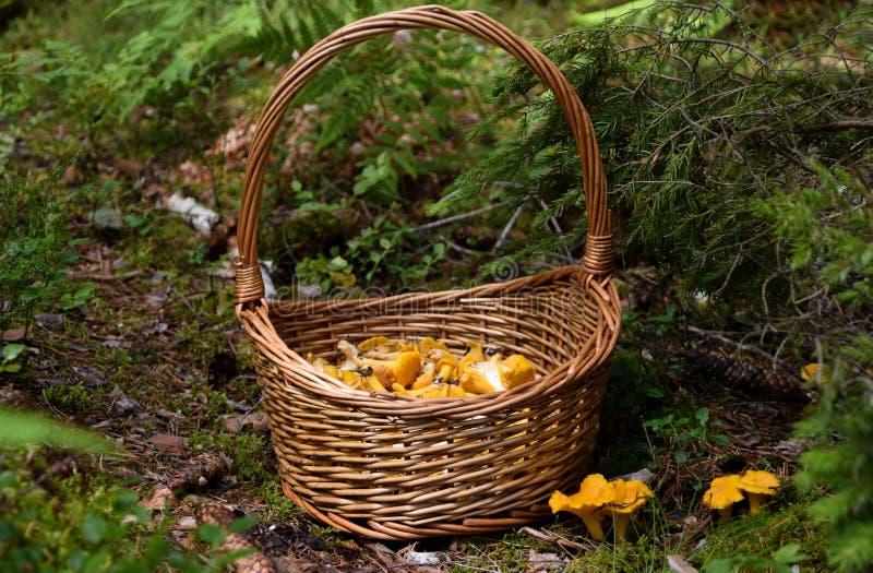 Kosz dzicy złoci chanterelles w lesie fotografia royalty free