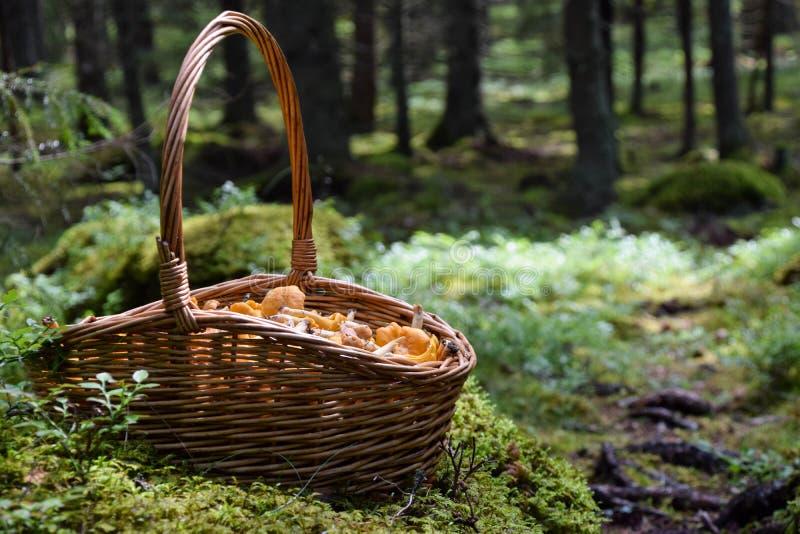 Kosz dzicy złoci chanterelles w lesie zdjęcie stock