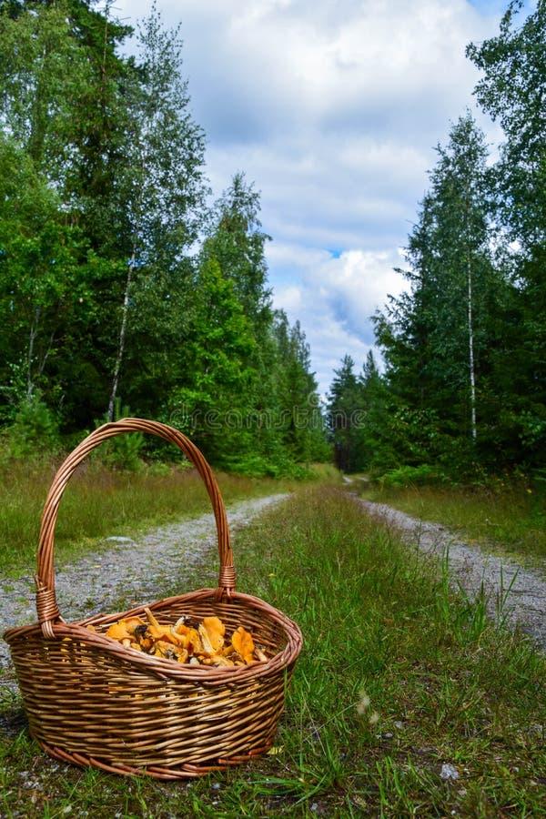 Kosz dziki złoty chanterelle ono rozrasta się na pustej lasowej drodze obraz stock