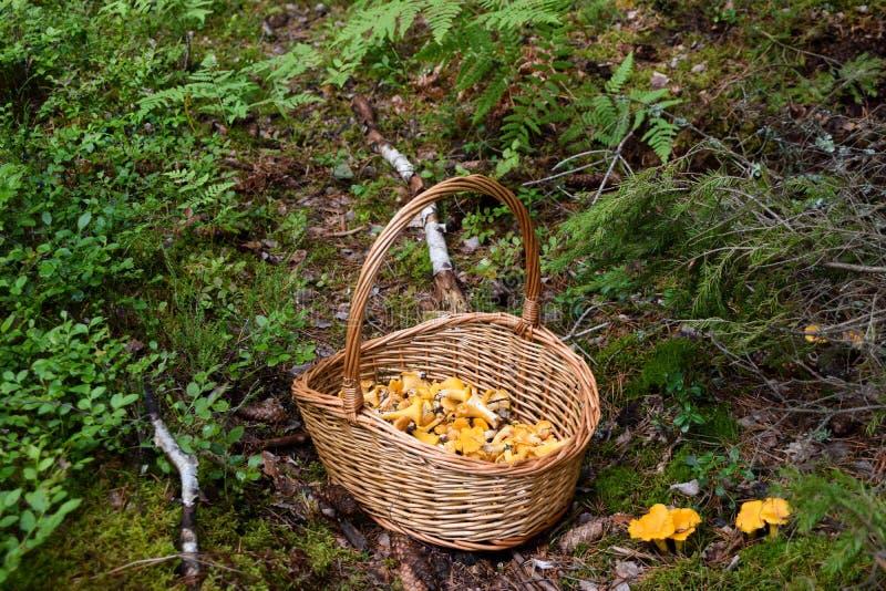 Kosz dziki złoty chanterelle ono rozrasta się w lesie fotografia stock