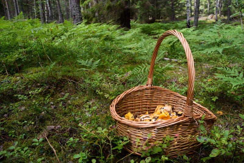 Kosz ukradzeni złoci chanterelles w lesie zdjęcia stock