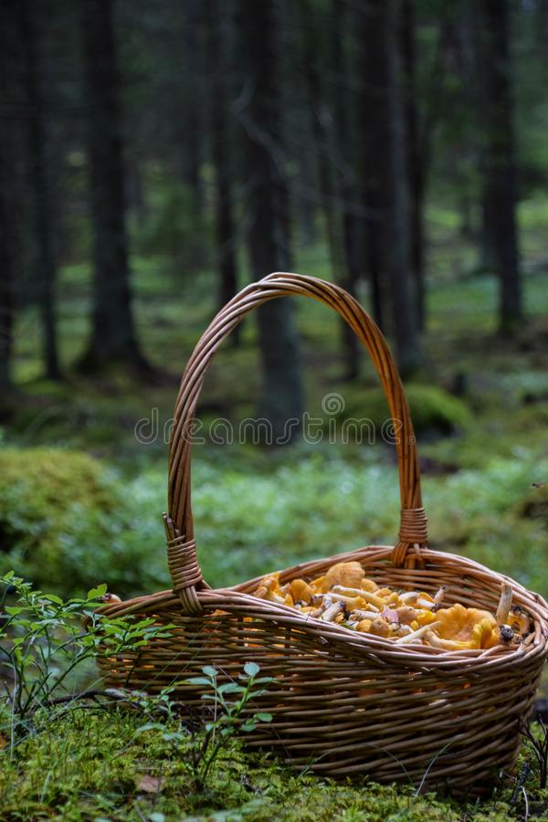 Kosz złoci chanterelles w lesie zdjęcia royalty free