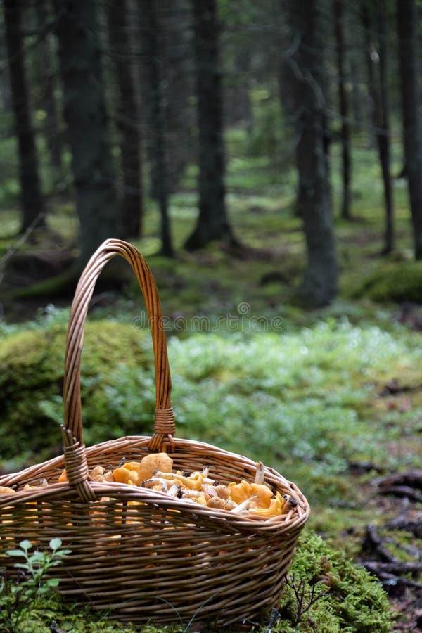 Kosz złoci chanterelles w lesie w Szwecja zdjęcie royalty free