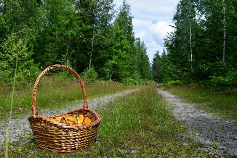 Kosz złoty chanterelle ono rozrasta się na pustej drodze w lesie obrazy stock