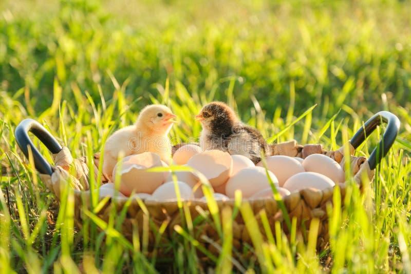 Kosz z naturalnymi świeżymi organicznie jajkami z dwa małymi nowonarodzonymi dziecko kurczakami, trawy natury tło obrazy royalty free
