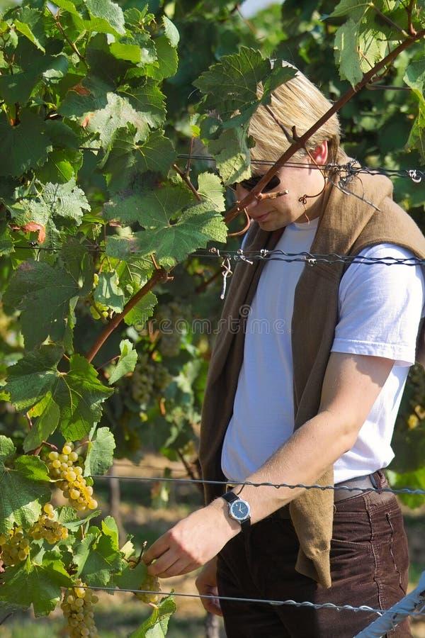 kosztowało winogron. zdjęcia royalty free