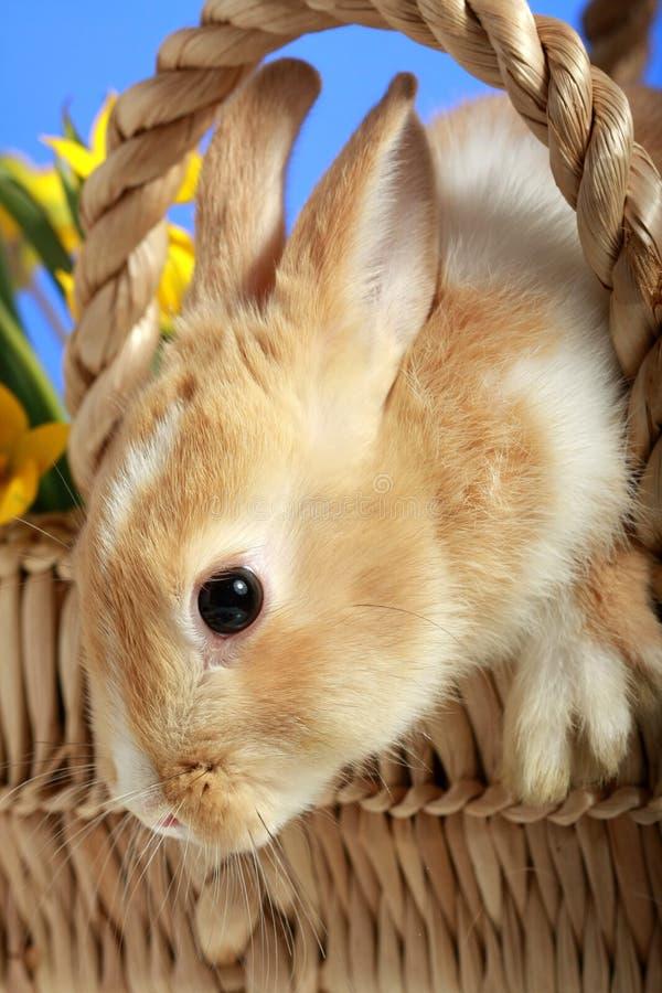 koszykowy królik Easter zdjęcie royalty free