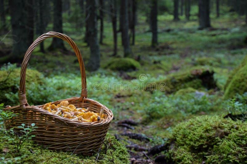 Koszykowy pełny złoci chanterelles w mech w lesie fotografia royalty free