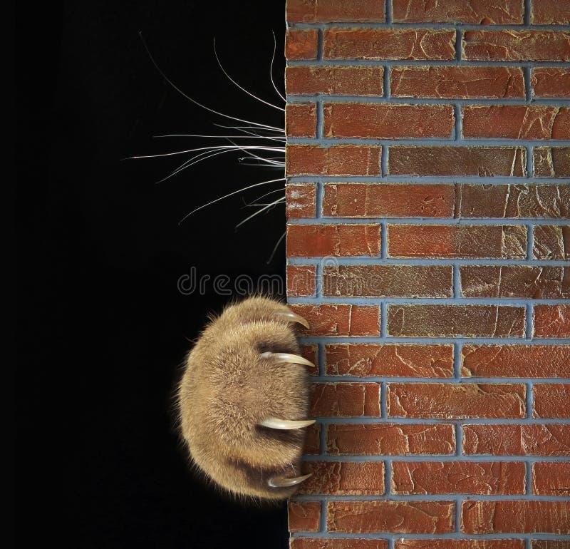 Kotów bokobrody za ścianą i łapa zdjęcia stock