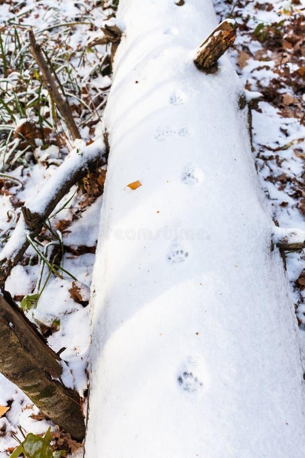 Kotów ślada na pierwszy śniegu zakrywali drzewnego bagażnika fotografia royalty free