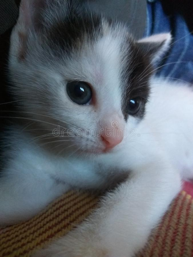 Kotów beuaty oczy obraz royalty free