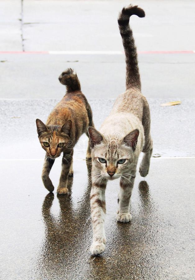 Kotów chodzić obrazy stock