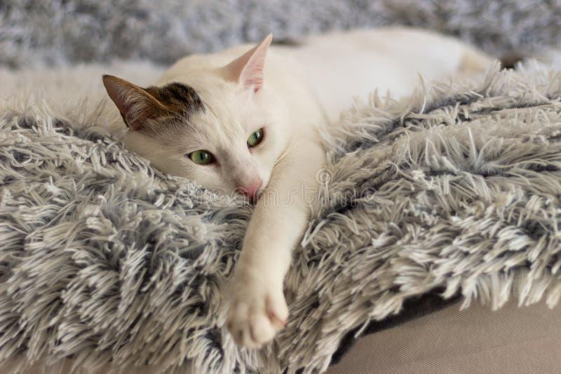 Kotów kotów domowi zwierzęta kocą się mój przyjaciela zielonego oka kota małego piękno jak ono obrazy stock