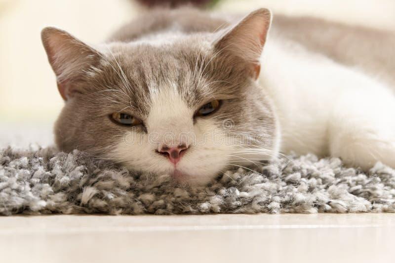 Kotów kłamstwa relaksowali na dywanie i spojrzeniach w kierunku kamery obraz stock