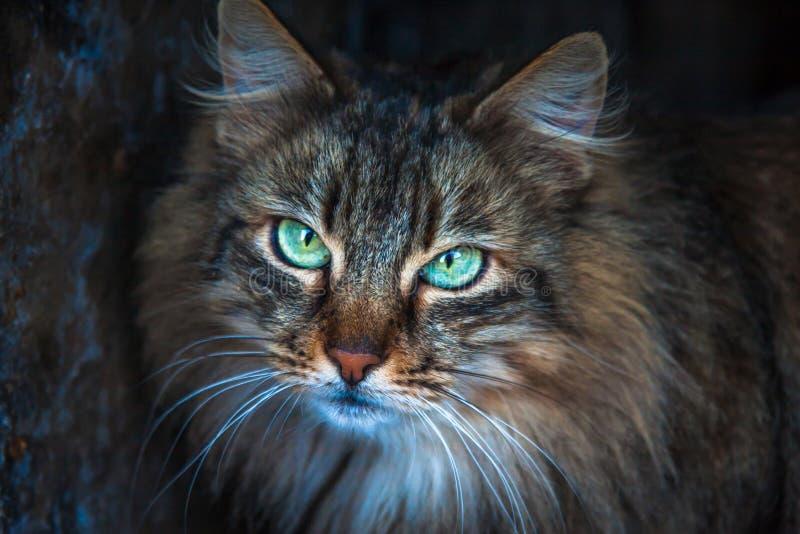 12 kotów kuzia o portret senior y zdjęcia royalty free