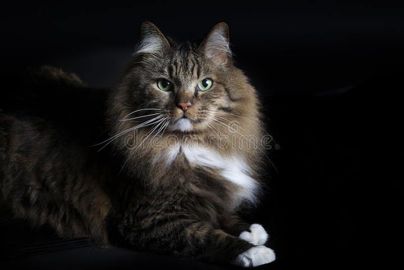 12 kotów kuzia o portret senior y obrazy stock