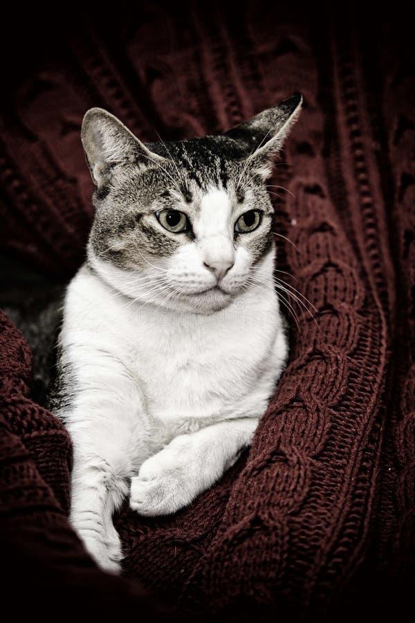 12 kotów kuzia o portret senior y zdjęcia stock