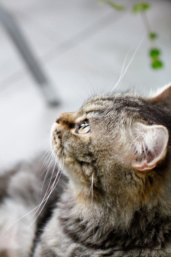 Kotów oczy: Zamyka up tabby kotów oczy, zbliżenie Hipnotyczny kot zdjęcie stock