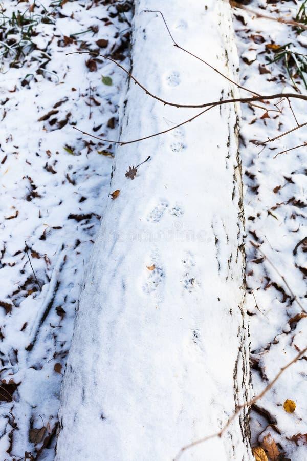 Kotów odciski stopi na śniegu zakrywali drzewnego bagażnika zdjęcie stock