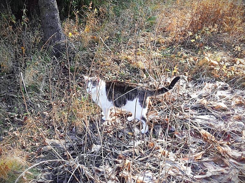 Kotów spacery na suchej trawie zdjęcie stock