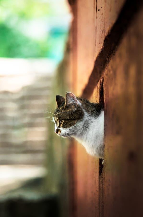 Kotów spojrzenia od za za ścianie w czerwieni zdjęcie stock