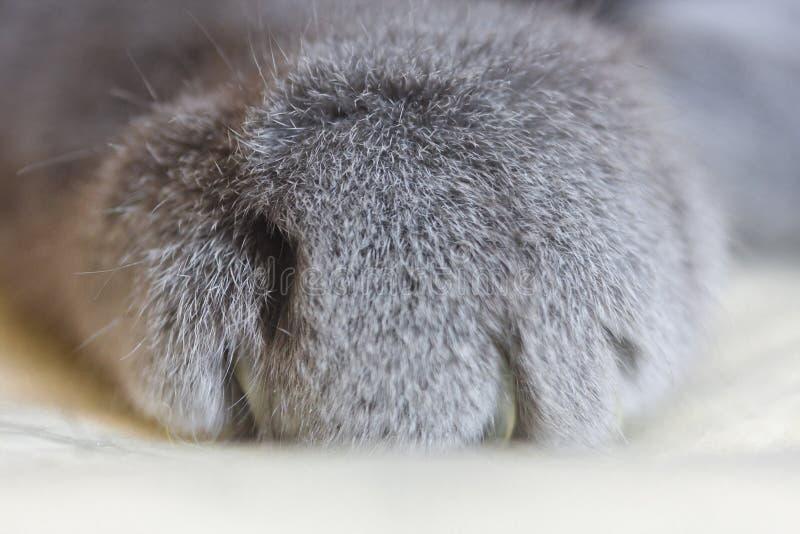 Kot ?apa w g?r? Puszysta kot poduszka Zwierz?ce cz??ci cia?a fotografia stock