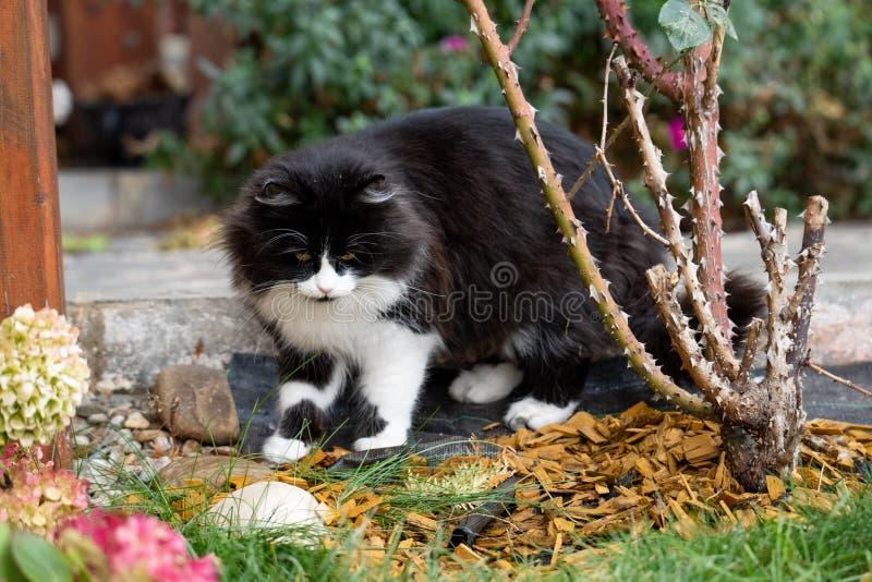 Kot bawić się blisko róża krzaka w ogródzie obraz royalty free