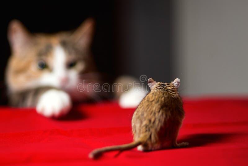 Kot bawić się z małą gerbil myszą na czerwień stole obrazy stock