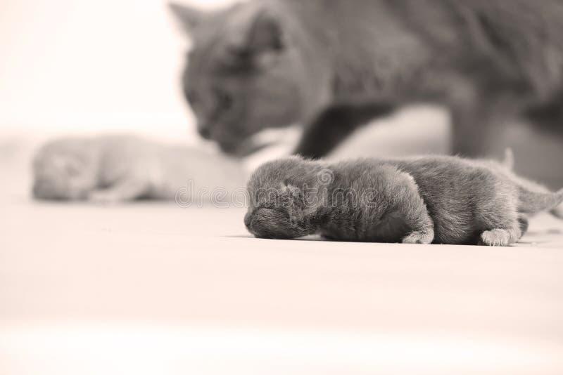 Kot bierze opiekę figlarki obraz royalty free