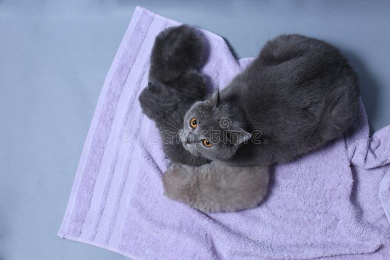 Kot bierze opiekę figlarki zdjęcia stock