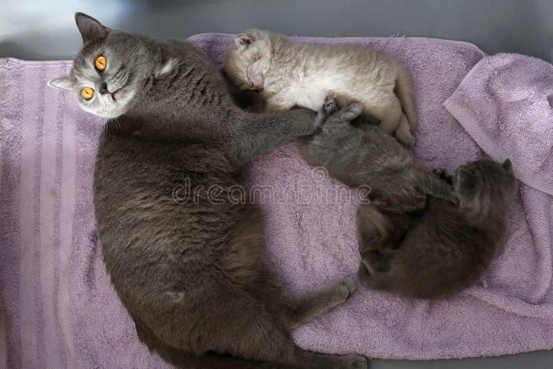 Kot bierze opiekę figlarki obrazy stock