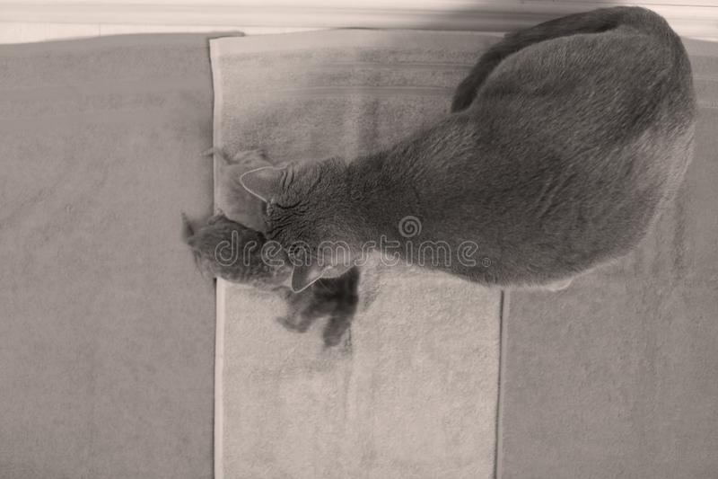 Kot bierze opiekę jej nowi borns, pierwszy dzień życie zdjęcia royalty free
