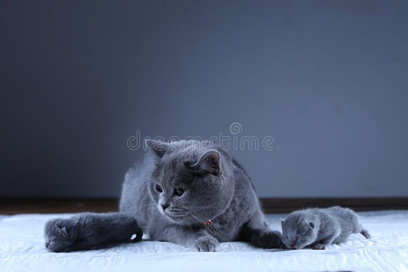 Kot bierze opiek? jej nowonarodzone figlarki, czarny t?o zdjęcia stock