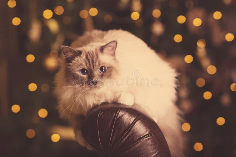 kot Christmans bawi się, zima wakacji kot z prezenta pudełkiem Nowy Ye zdjęcia stock