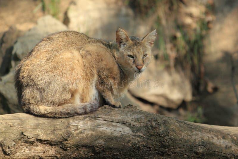 Download Kot dżungla obraz stock. Obraz złożonej z zwierzę, asia - 24872787