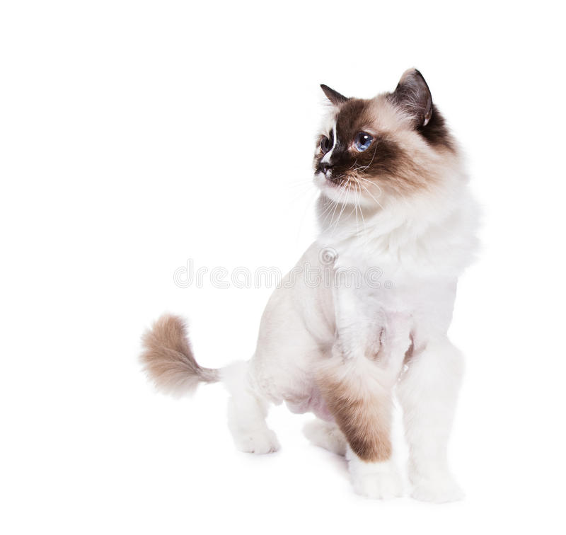 kot goljący obraz royalty free