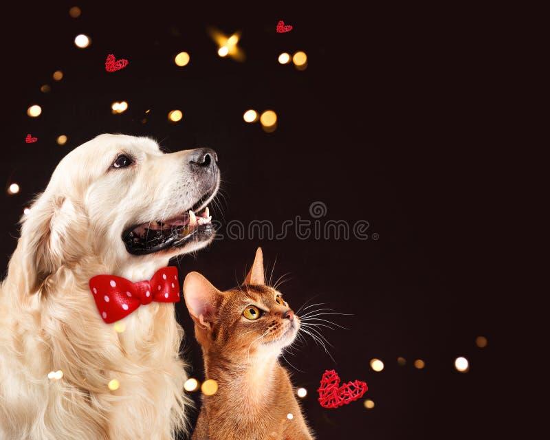 Kot i pies, abyssinian figlarka, golden retriever spojrzenia przy dobrem zdjęcia stock