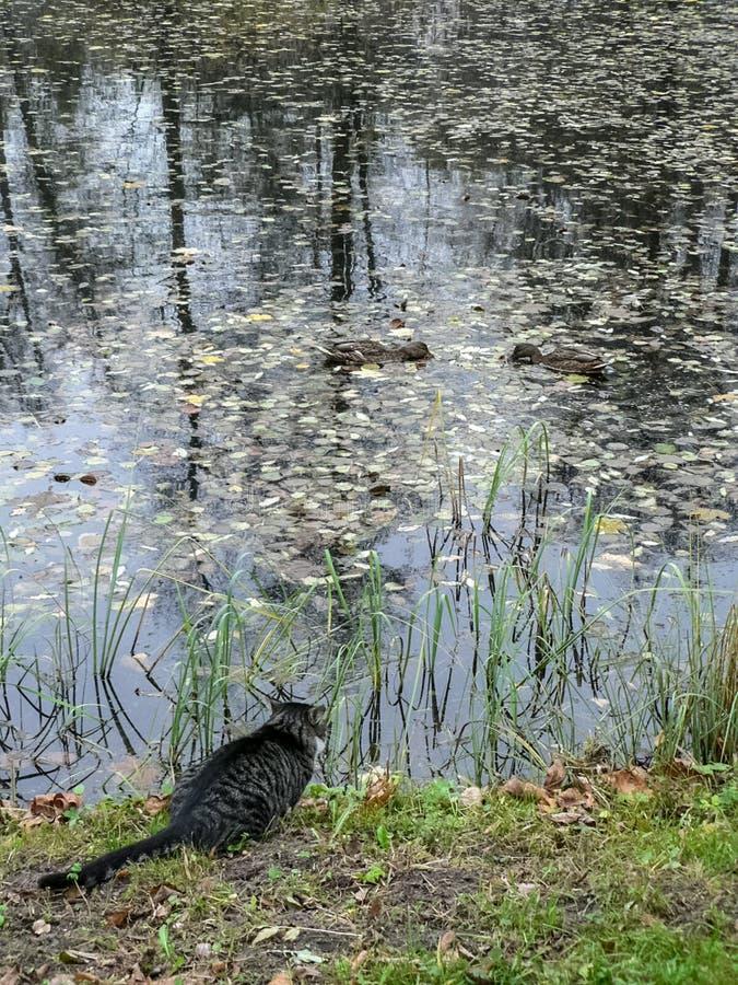 Kot jest na krawędzi spojrzeń przy dwa kaczkami i stawu obraz royalty free