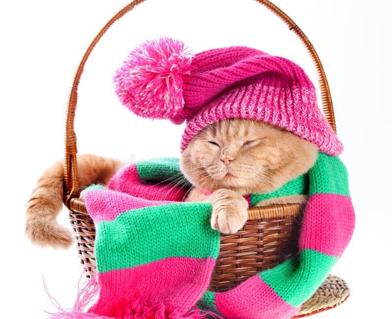 Kot jest ubranym różowego dziewiarskiego kapelusz z pomponem i szalikiem fotografia royalty free