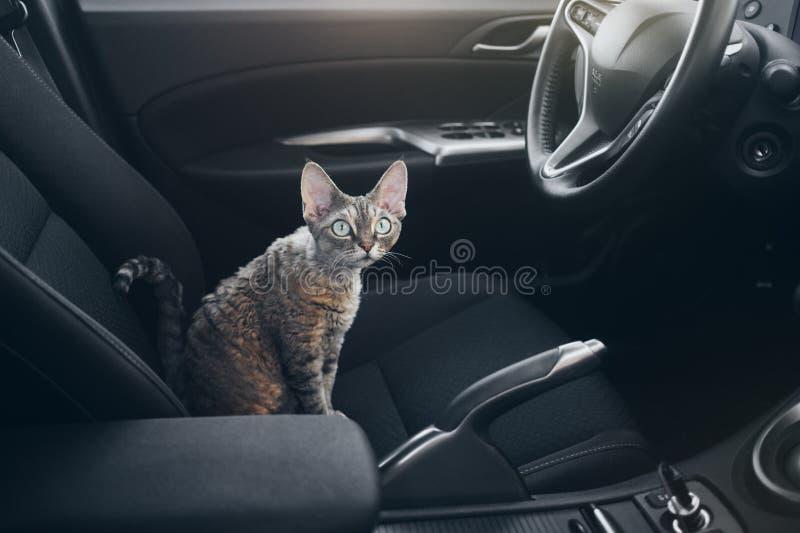 Kot jest wśrodku samochodu Kot jest podróżny w samochodzie Piękny Devon obrazy stock