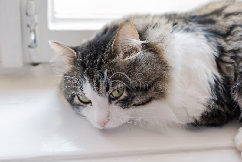 Kot kłama na białym okno na słonecznym dniu zdjęcia royalty free