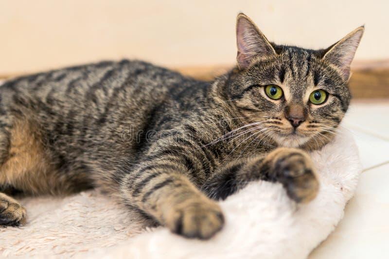 Kot kłama na jego dywanie obraz stock