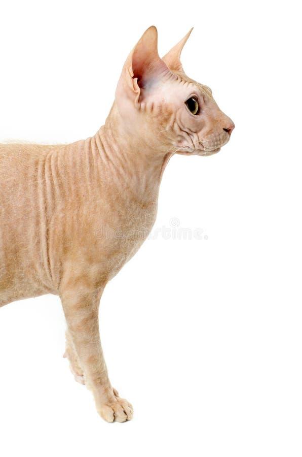 Kot, kanadyjczyk Sphynx, zakończenie up, odizolowywający na białym tle obrazy stock