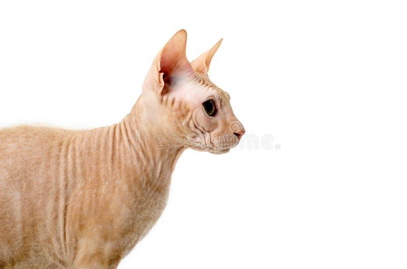 Kot, kanadyjczyk Sphynx, zakończenie up, odizolowywający na białym tle obraz royalty free