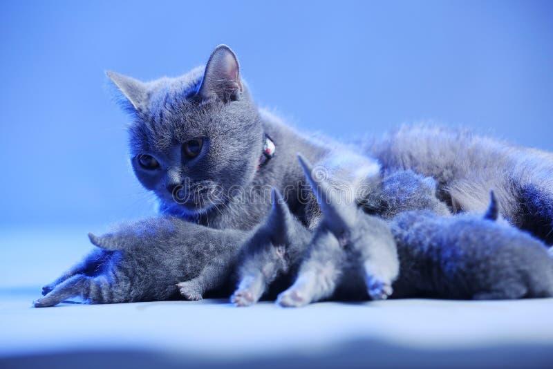 Kot karmi jej nowonarodzone figlarki, b??kitny t?o zdjęcia royalty free